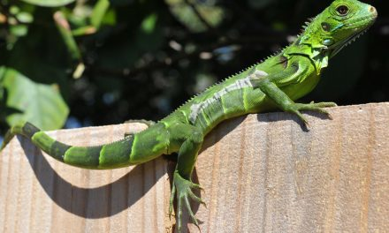 Florida clarifies kill 'whenever possible' policy on iguanas after pool worker gets shot by iguana hunter